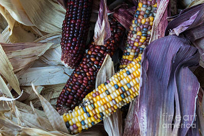 Photograph - Autumn Corn by Suzanne Luft