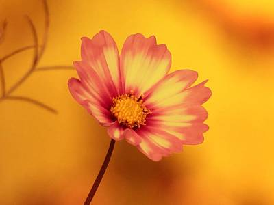 Photograph - Autumn Cosmos by MTBobbins Photography