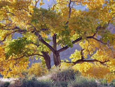 Autumn Cottonwood - Zion Art Print