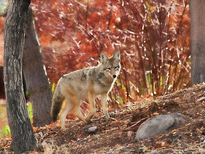 Photograph - Autumn Coyote  by Donna Kennedy