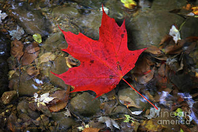 Photograph - Autumn Creek With Red Maple Leaf by John Stephens
