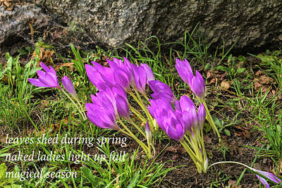 Photograph - Autumn Crocus Haiku by Constantine Gregory