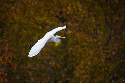 Bird Photograph - Autumn Cruising by Benjamin DeHaven