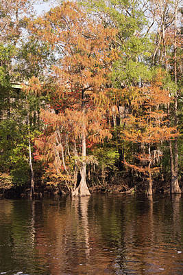 Photograph - Autumn Cypress Trees On The Waccamaw by MM Anderson
