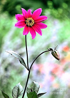 Photograph - Autumn Dahlia by Janice Drew