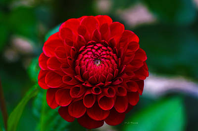 Photograph - Autumn Dahlia by Jeanette C Landstrom