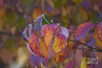Photograph - Autumn Dogwood 20120925_09 by Tina Hopkins
