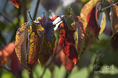 Photograph - Autumn Dogwood Leaves 20130829_102 by Tina Hopkins