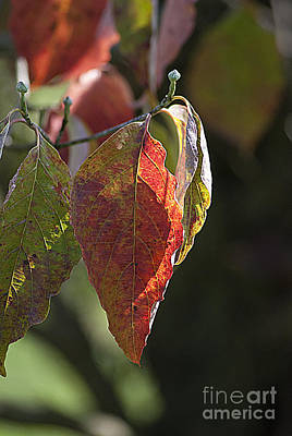 Photograph - Autumn Dogwood Leaves 20130829_103 by Tina Hopkins