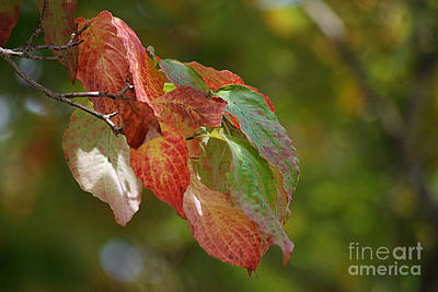 Photograph - Autumn Dogwood Leaves 20130901_190 by Tina Hopkins