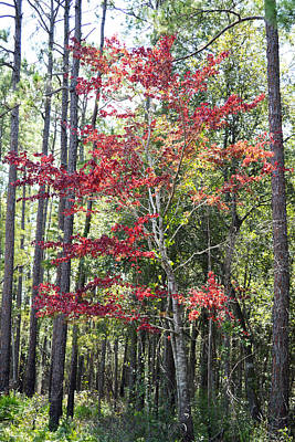 Photograph - Autumn Dreaming - Swamp Maple by rd Erickson
