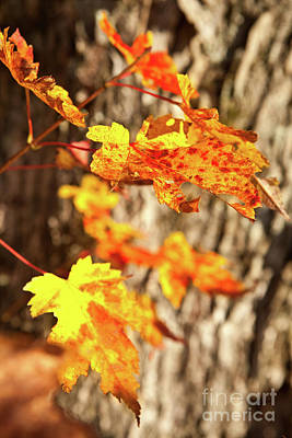 Photograph - Autumn Fall Color Maple Leaves In The Blue Ridge by Dan Carmichael
