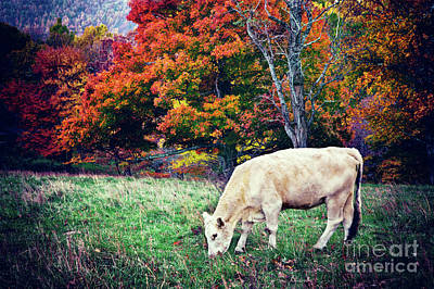 Autumn Fall Colors - Cow Grazing In Colorful Pasture Art Print
