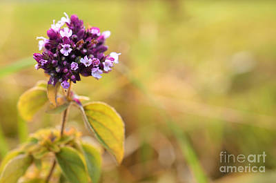 Photograph - Autumn Flower In A Field by Sabine Jacobs