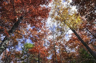 Photograph - Autumn Forest Canopy by Lynn Bauer