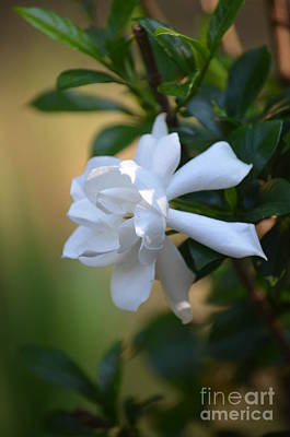 Photograph - Autumn Gardenia by Maria Urso