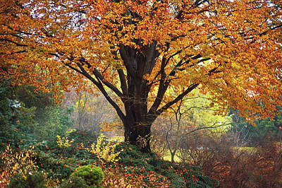 Photograph - Autumn Glory Of Beech Tree by Jenny Rainbow