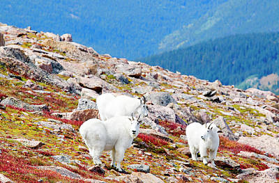 Steve Krull Royalty-Free and Rights-Managed Images - Autumn Goats on Mount Bierstadt by Steve Krull