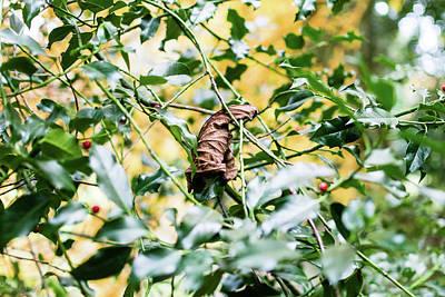 Photograph - Autumn Gold Leaf On Holly Leaves by Jacek Wojnarowski