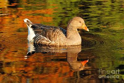 Photograph - Autumn Goose Reflection by Debbie Stahre