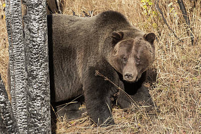 Photograph - Autumn Grizzly by Sandy Sisti