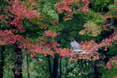 Photograph - Autumn Hawk by Bill Wakeley