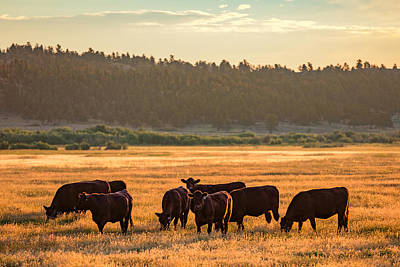 Angus Steer Photograph - Autumn Herd by Todd Klassy