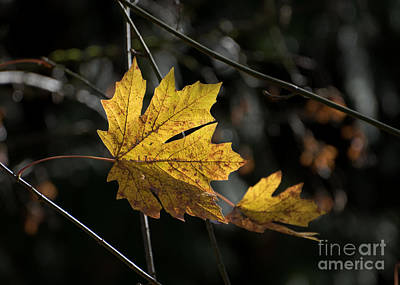 Photograph - Autumn Highlight by MaryJane Armstrong