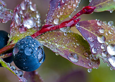 autumn Huckleberry berry and leaves macro in autumn Art Print by Ed Book