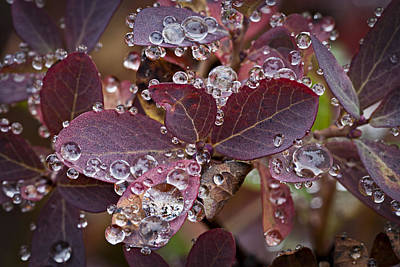 autumn Huckleberry leaves macro in autumn Art Print by Ed Book