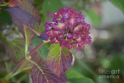 Photograph - Autumn Hydrangea 20121023_08 by Tina Hopkins