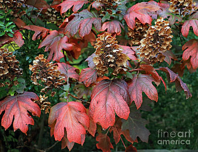 Photograph - Autumn Hydrangea by Mary Haber