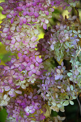 Photograph - Autumn Hydrangea by Michael Friedman