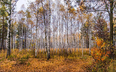 Autumn In The Birch Grove Art Print by Dmytro Korol
