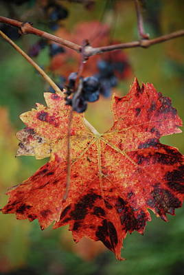 Grapeleaves Photograph - Autumn In The Vineyard by Lori Leigh