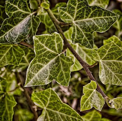 Photograph - Autumn Ivy by Greg Jackson