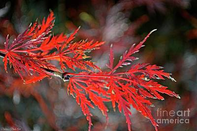 Photograph - Autumn Japanese Maple by Debbie Portwood
