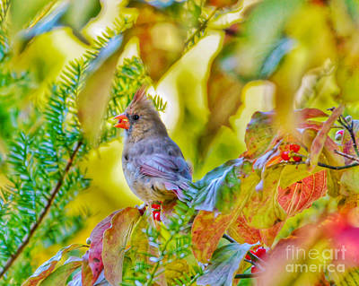 Cardinal Photograph - Autumn Lady by Kerri Farley