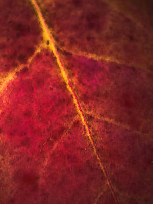 Photograph - Autumn Leaf Abstract by Jim DeLillo