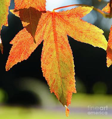 Photograph - Autumn Leaf by Colin Rayner