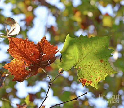 Photograph - Autumn Leaf Duo by Kerri Farley