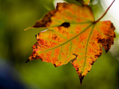 Photograph - Autumn Leaf by Jim DeLillo