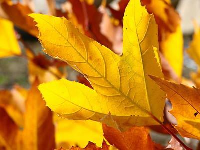Autumn Leaf Art Print by Liz Vernand