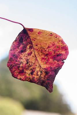 Photograph - Autumn Leaf by Mechala Matthews