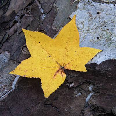 Photograph - Autumn Leaf On Textured Bark by Gary Slawsky