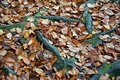 Photograph - Autumn Leaves And Roots IIi by Helen Northcott