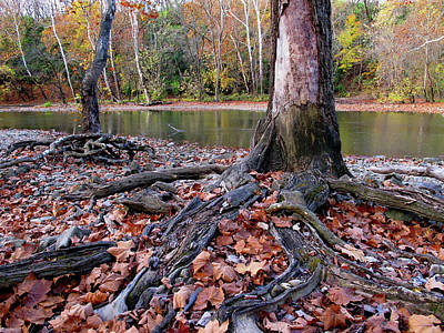 Photograph - Autumn Leaves And Roots  by Robert Papps