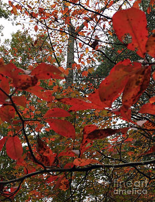 Photograph - Autumn Leaves In Red  by Rafael Salazar