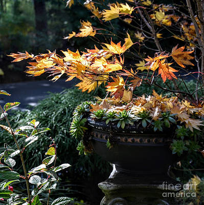 Photograph - Autumn Maple And Succulents by Tanya Searcy
