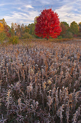 Autumn Maple In Frosted Meadow Art Print by Dean Pennala
